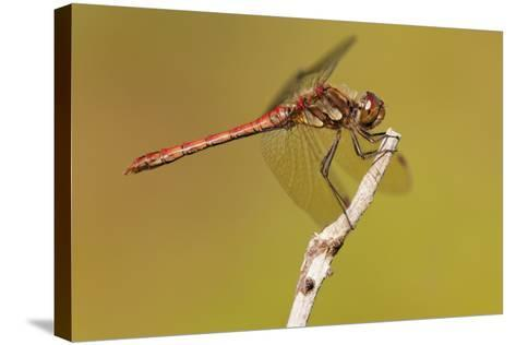 Male Common Darter Dragonfly (Sympetrum Striolatum) Resting on the End of a Twig, Dorset,Uk-Ross Hoddinott-Stretched Canvas Print