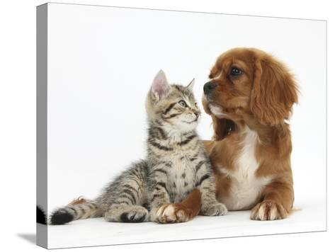 Tabby Kitten, Stanley, 8 Weeks, Relaxing with Ruby Cavalier King Charles Spaniel Bitch-Mark Taylor-Stretched Canvas Print
