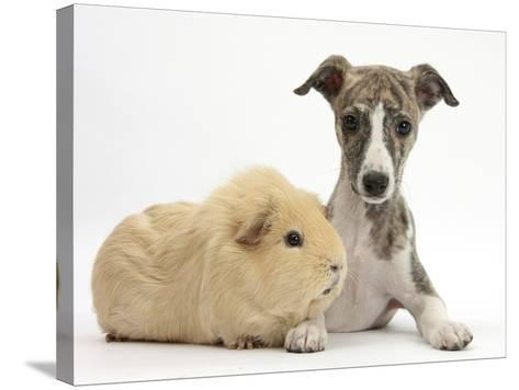 Brindle-And-White Whippet Puppy, 9 Weeks, with Yellow Guinea Pig-Mark Taylor-Stretched Canvas Print