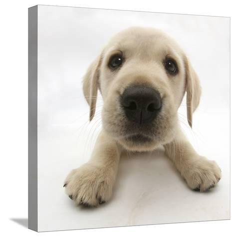 Yellow Labrador Retriever Puppy, 8 Weeks Old, Lying with Head Up-Mark Taylor-Stretched Canvas Print