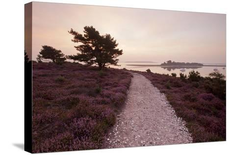 Path Running Through Common Heather, with Brownsea Island, Arne Rspb, Dorset, England, UK-Ross Hoddinott-Stretched Canvas Print