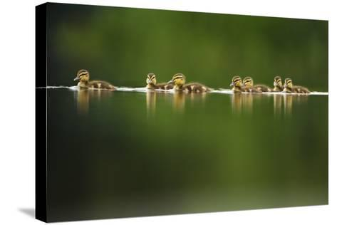 A Line of Mallard (Anas Platyrhynchos) Ducklings Swimming on a Still Lake, Derbyshire, England, UK-Andrew Parkinson-Stretched Canvas Print