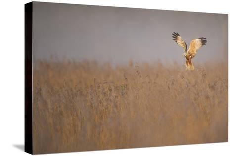 Marsh Harrier (Circus Aeruginosus) Adult Male in Flight Hunting over Reedbed at Dawn, Norfolk, UK-Andrew Parkinson-Stretched Canvas Print