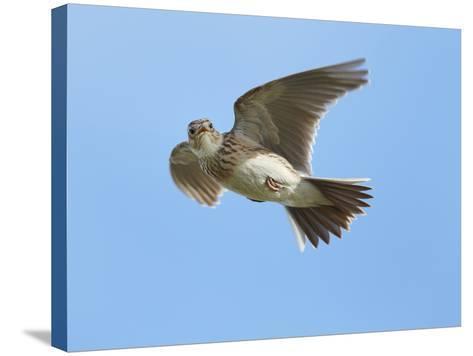 Male Skylark (Alauda Arvensis) in Flight, Singing, Denmark Farm, Lampeter, Ceredigion, Wales, UK-Richard Steel-Stretched Canvas Print