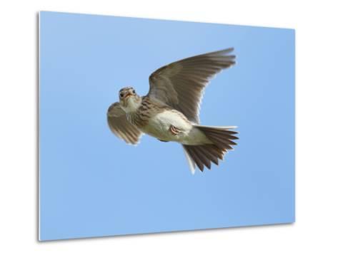 Male Skylark (Alauda Arvensis) in Flight, Singing, Denmark Farm, Lampeter, Ceredigion, Wales, UK-Richard Steel-Metal Print