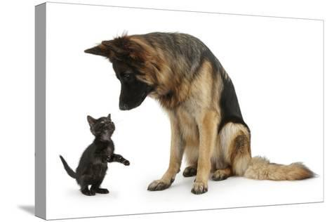 German Shepherd Dog Bitch, Coco, Looking Down on Black Kitten-Mark Taylor-Stretched Canvas Print