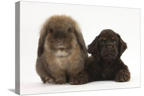 American Cocker Spaniel Puppy and Lionhead-Cross Rabbit-Mark Taylor-Stretched Canvas Print