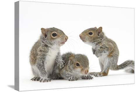 Grey Squirrels (Sciurus Carolinensis) Three Young Hand-Reared Portrait-Mark Taylor-Stretched Canvas Print