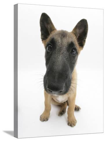 Belgian Shepherd Dog Puppy, Antar, 10 Weeks, Sitting, Looking Up-Mark Taylor-Stretched Canvas Print