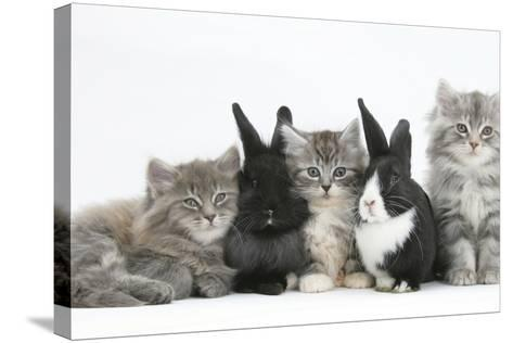 Maine Coon Kittens, 8 Weeks, with Baby Dutch X Lionhead Rabbits-Mark Taylor-Stretched Canvas Print