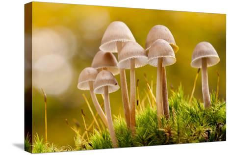 Close-Up of Group of Toadstools (Mycena Sp) Autumn. Leicestershire, UK. November-Ross Hoddinott-Stretched Canvas Print