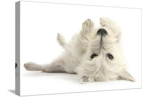 West Highland White Terrier Bitch, Milly, Lying Playfully on Her Back-Mark Taylor-Stretched Canvas Print