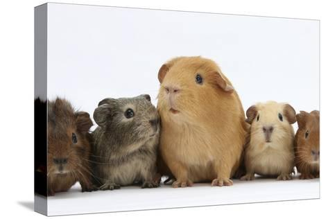 Mother Guinea Pig and Four Baby Guinea Pigs, Each a Different Colour-Mark Taylor-Stretched Canvas Print