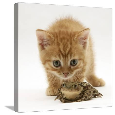 Ginger Tabby Kitten Looking at Common European Toad (Bufo Bufo)-Mark Taylor-Stretched Canvas Print