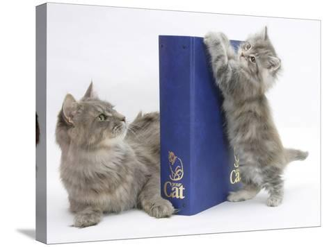 Maine Coon Mother Cat, Serafin, with Kitten Reaching with Paws on 'Your Cat' Binder-Mark Taylor-Stretched Canvas Print