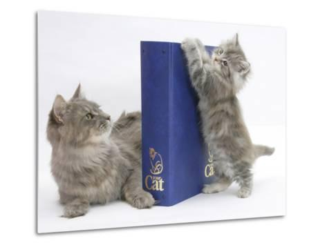 Maine Coon Mother Cat, Serafin, with Kitten Reaching with Paws on 'Your Cat' Binder-Mark Taylor-Metal Print