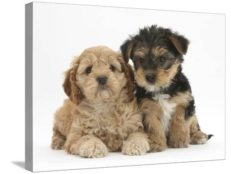 Cavapoo Puppy, 7 Weeks, and Yorkshire Terrier Puppy, 8 Weeks-Mark Taylor-Stretched Canvas Print