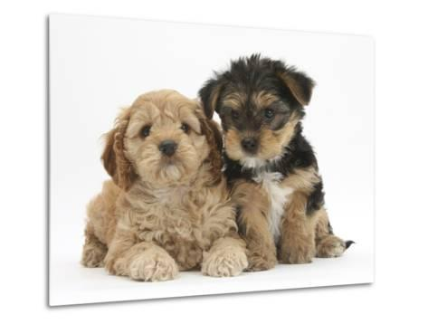 Cavapoo Puppy, 7 Weeks, and Yorkshire Terrier Puppy, 8 Weeks-Mark Taylor-Metal Print