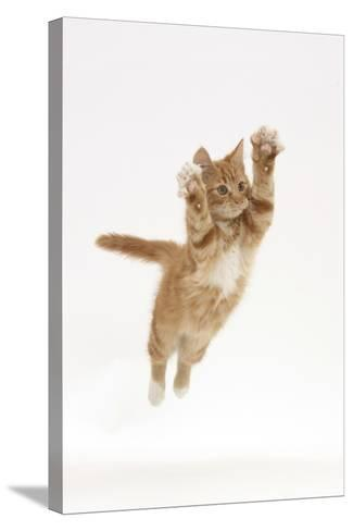 Ginger Kitten Leaping with Legs and Claws Outstretched-Mark Taylor-Stretched Canvas Print
