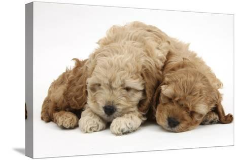 Two Golden Cockerpoo (Cocker Spaniel X Poodle) Puppies Sleeping-Mark Taylor-Stretched Canvas Print