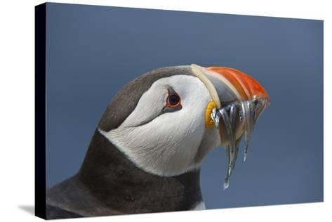 Puffin (Fratercula Arctica) with Sand Eels in Beak, Farne Islands, Northumberland, June-Rob Jordan-Stretched Canvas Print