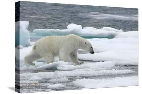 Polar Bear (Ursus Maritimus) Walking over Sea Ice, Moselbukta, Svalbard, Norway, July 2008-de la-Stretched Canvas Print