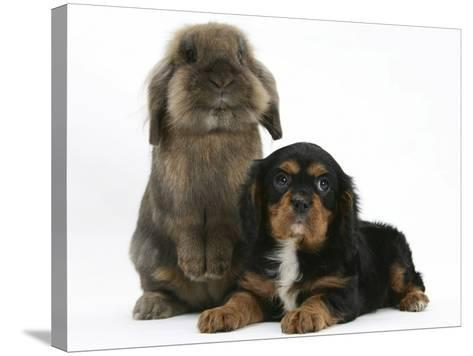 Black-And-Tan Cavalier King Charles Spaniel Puppy and Lionhead Rabbit-Mark Taylor-Stretched Canvas Print