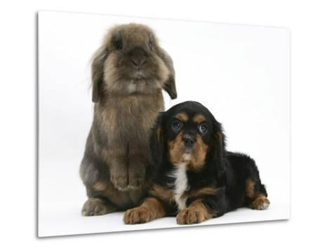 Black-And-Tan Cavalier King Charles Spaniel Puppy and Lionhead Rabbit-Mark Taylor-Metal Print