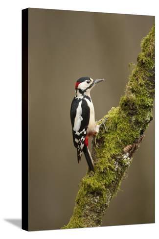 Great Spotted Woodpecker (Dendrocopos Major). Scotland, UK, February-Mark Hamblin-Stretched Canvas Print