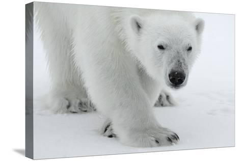Polar Bear (Ursus Maritimus) Portrait, Svalbard, Norway, July 2008-de la-Stretched Canvas Print