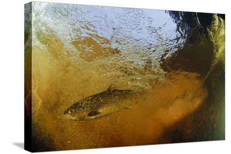 Brown Trout (Salmo Trutta) in Turbulent Water at a Weir, River Ettick, Selkirkshire, Scotland, UK-Linda Pitkin-Stretched Canvas Print