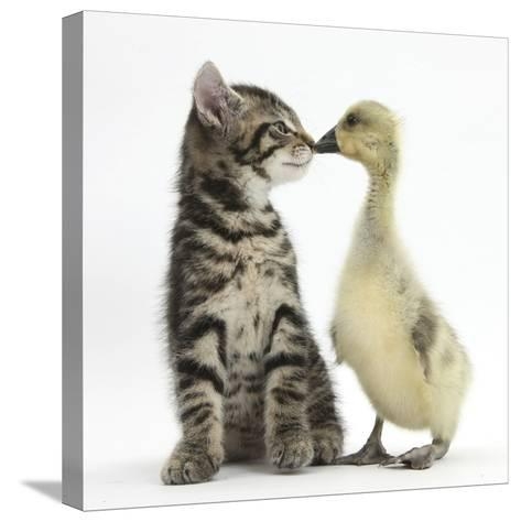Cute Tabby Kitten, Fosset, 9 Weeks, Nose to Beak with Yellow Gosling-Mark Taylor-Stretched Canvas Print