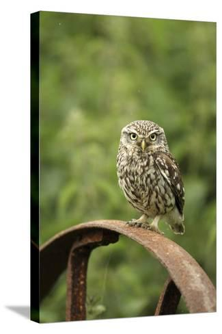 Little Owl (Athene Noctua) Perched on a Rusting Iron Wheel, Essex, England, UK, June-Luke Massey-Stretched Canvas Print