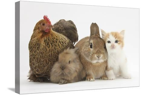 Partridge Pekin Bantam with Kitten, Sandy Netherland Dwarf-Cross and Baby Lionhead-Cross Rabbit-Mark Taylor-Stretched Canvas Print
