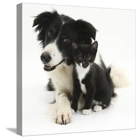Black-And-White Border Collie Bitch, with Black-And-White Tuxedo Kitten, 10 Weeks-Mark Taylor-Stretched Canvas Print