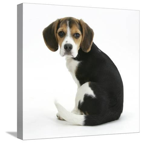 Beagle Puppy, Florrie, 4 Months, Sitting, Looking over Her Shoulder-Mark Taylor-Stretched Canvas Print