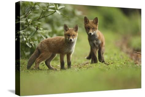 Red Fox (Vulpes Vulpes) Cubs, Hertfordshire, England, UK, May-Luke Massey-Stretched Canvas Print