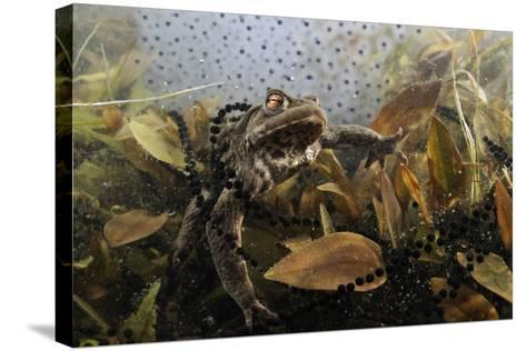 Common Toad (Bufo Bufo) in a Pond, with Toad Spawn and Frogspawn, Coldharbour, Surrey, UK-Linda Pitkin-Stretched Canvas Print