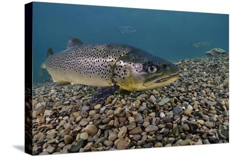 Brown Trout (Salmo Trutta) Jackdaw Quarry, Capernwray, Carnforth, Lancashire, UK, August-Linda Pitkin-Stretched Canvas Print