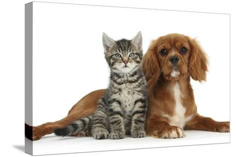 Tabby Kitten, Fosset, 8 Weeks Old, Sitting with Ruby Cavalier King Charles Spaniel Bitch, Star-Mark Taylor-Stretched Canvas Print
