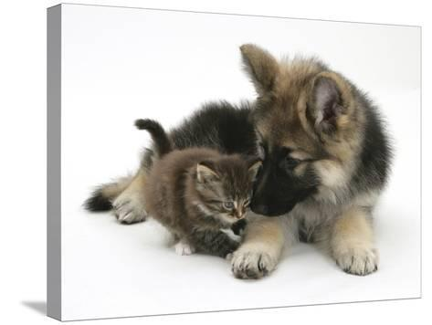 German Shepherd Dog Bitch Puppy, Echo, with a Tabby Kitten-Mark Taylor-Stretched Canvas Print