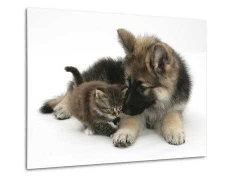 German Shepherd Dog Bitch Puppy, Echo, with a Tabby Kitten-Mark Taylor-Metal Print
