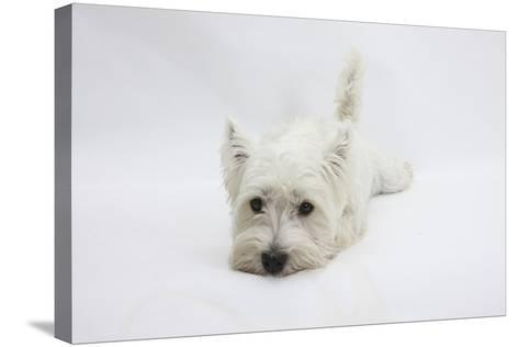 West Highland White Terrier Lying Stretched Out with Her Chin on the Floor-Mark Taylor-Stretched Canvas Print