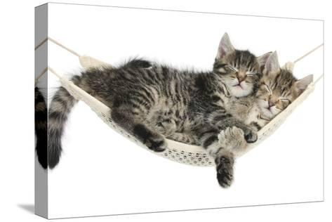 Two Cute Tabby Kittens, Stanley and Fosset, 7 Weeks, Sleeping in a Hammock-Mark Taylor-Stretched Canvas Print
