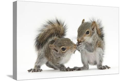 Grey Squirrels (Sciurus Carolinensis) Two Young Hand-Reared Babies Portrait-Mark Taylor-Stretched Canvas Print