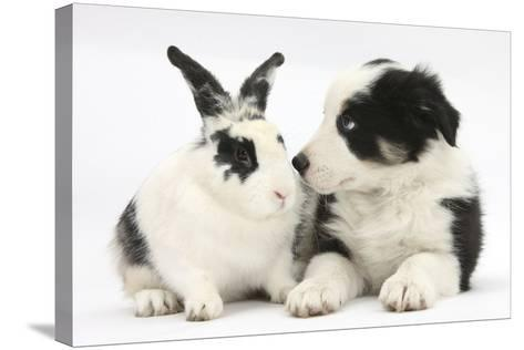Tricolour Border Collie Puppy Basil, 8 Weeks, with Black and White Rabbit-Mark Taylor-Stretched Canvas Print
