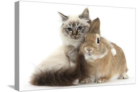 Tabby-Point Birman Cat with Paw Round Sandy Netherland-Cross Rabbit-Mark Taylor-Stretched Canvas Print