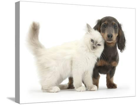 Blue-Point Kitten and Blue-And-Tan Dachshund Puppy, Baloo, 15 Weeks-Mark Taylor-Stretched Canvas Print