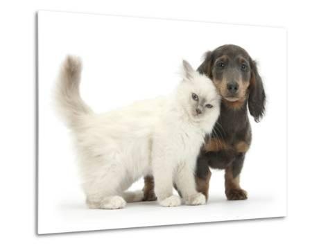 Blue-Point Kitten and Blue-And-Tan Dachshund Puppy, Baloo, 15 Weeks-Mark Taylor-Metal Print