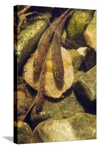 Brown Trout (Salmo Trutta) Fry on River Bed, Cumbria, England, UK, September-Linda Pitkin-Stretched Canvas Print